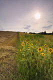 Sunset over the sunflower field Royalty Free Stock Photos