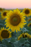 Sunset over Sunflower field Stock Photography