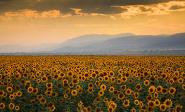 Sunset over a sunflower field stock photos