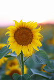 Sunset over Sunflower field Royalty Free Stock Photos