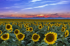 Sunset Over Sunflower Fields of Colorado Royalty Free Stock Images