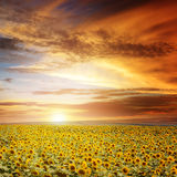 Sunset over sunflowers field Stock Photo