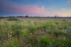 Sunset over swamp with cotton-grass Royalty Free Stock Image