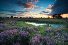 Sunset over swamp with flowering pink heather royalty free stock images
