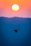 Bird In Flight At Sunset Stock Photo