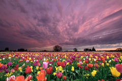 Sunset Over Tulip Field. Sunset Over Farm Field of Tulip Flowers Blooming in Oregon in Springtime Royalty Free Stock Photo