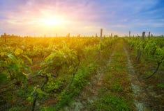 Sunset over vines in Kakheti region Royalty Free Stock Images