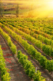 Sunset over a vineyard Stock Image