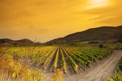 Sunset over a vineyard Royalty Free Stock Photo