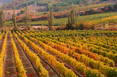 Sunset over a vineyard in the fall season Crimea  Ukraine Stock Images