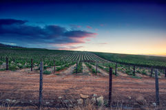 Sunset over a vineyard Stock Photography