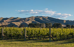 Sunset over vineyard in New Zealand Royalty Free Stock Photography