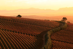 Sunset over the vineyards. Farm scene in South Africa Royalty Free Stock Images