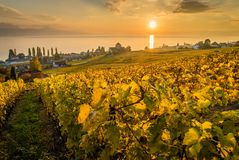 Sunset over vineyards in Lutry. Sunset over geneva lake and vineyards in Lutry, close to Lausanne, with yellow autumn colors Stock Photography