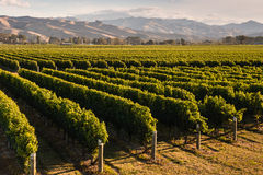 Sunset over vineyards. In New Zealand Stock Image