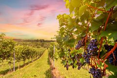 Sunset over vineyards with red wine grapes in late summer royalty free stock photography
