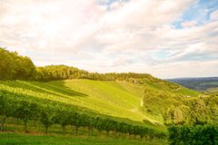 Sunset over vineyards with red wine grapes in late summer stock photography