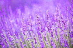 Sunset over a violet lavender. Stock Photography