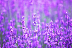 Sunset over a violet lavender field. Stock Photos