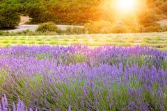 Sunset over a violet lavender field. Stock Images