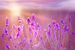 Sunset over a violet. Royalty Free Stock Images