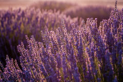 Sunset Over Violet Lavender Field in Turkey. In summer time Royalty Free Stock Images