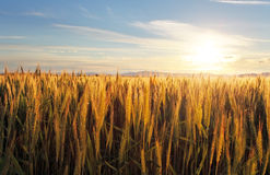 Sunset over wheat field Stock Photo