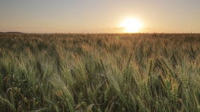 Sunset over the wheat of field stock video