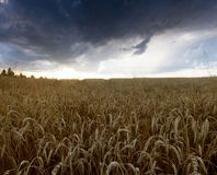 Sunset over wheat field. Stock Image