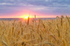 Sunset over wheat field Stock Image