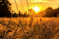 Golden hour and field with grain. Sunset over the wheat field. Golden hour and field with grain royalty free stock image