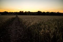 Sunset over a wheat field. A sunset over a wheat field in the Lincolnshire countryside Royalty Free Stock Image