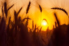 Sunset over the wheat field in the natural frame of ears. Drought. Saving the harvest stock image