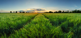 Sunset over wheat field with path Royalty Free Stock Photos