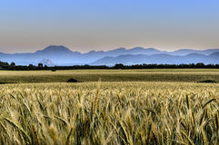 Sunset over wheat field. Royalty Free Stock Photography