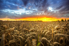 Sunset over the wheat field Stock Photography