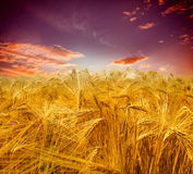 Sunset over wheat field Stock Photography