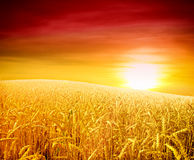 Sunset over wheat field Stock Images
