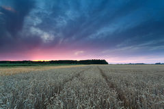 Sunset over wheat field Stock Photos
