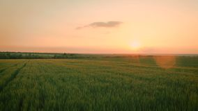 Sunset over the wheat field stock video footage