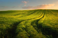Wheat field landscape with path in the sunset time royalty free stock photography