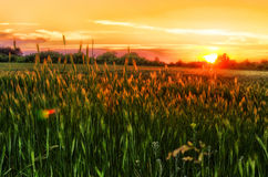 Sunset over the wheat fields. And beauty Stock Photography