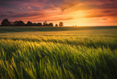 Sunset over wheat fields. Sunset falls over a ripening wheat or barley field. The golden afterglow illuminates the clouds and casts a warm glow over the scene Royalty Free Stock Photography