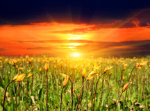 Sunset over wild tulip flowers. Sunset scene with wild tulip flowers Royalty Free Stock Photography