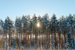 Sunset over a winter forest Stock Images