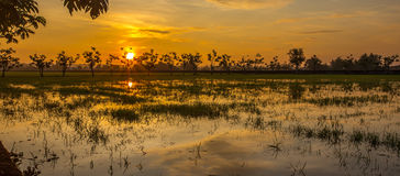 Sunset of paddy field Royalty Free Stock Images