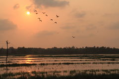 Sunset at a paddy field Royalty Free Stock Images