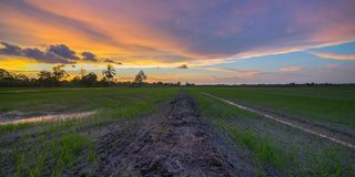 Sunset At Paddy Field. A colourful sunset at paddy fields stock image