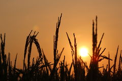 Sunset on the paddy field Stock Photo