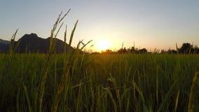 Sunset paddy fields. The sun was falling paddy fields stock footage